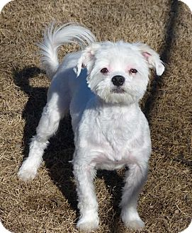 Maltese Mix Dog for adoption in Fayetteville, North Carolina - Andy