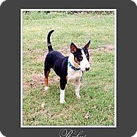 Adopt A Pet :: Rukus - Sachse, TX