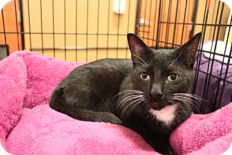 Domestic Shorthair Cat for adoption in Smyrna, Georgia - Thomas
