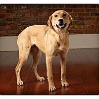 Adopt A Pet :: Goldie - Owensboro, KY