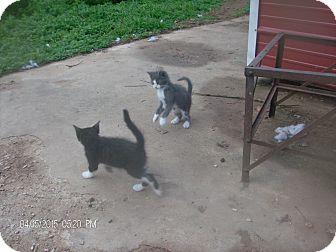 Domestic Shorthair Kitten for adoption in KELLYVILLE, Oklahoma - 2 kittens