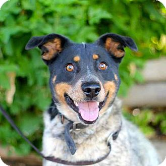 Australian Cattle Dog/Border Collie Mix Dog for adoption in Craig, Colorado - Buster