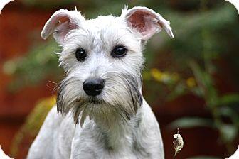 Schnauzer (Miniature) Puppy for adoption in Salem, New Hampshire - PUPPY SIMON