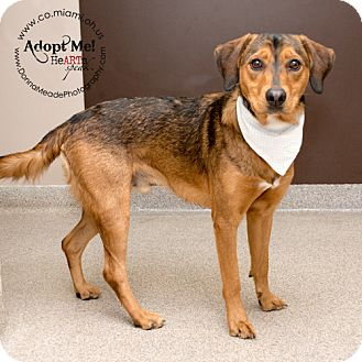 Hound (Unknown Type) Mix Dog for adoption in Troy, Ohio - Oliver