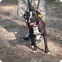 Adopt A Pet :: Macy - Lake Worth, FL