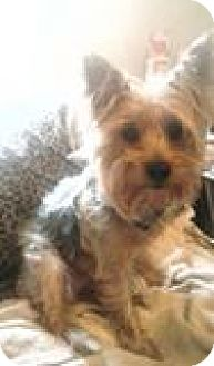 Yorkie, Yorkshire Terrier Dog for adoption in richmond, Virginia - Leila