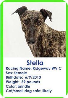 Greyhound Dog for adoption in Aurora, Indiana - Stella