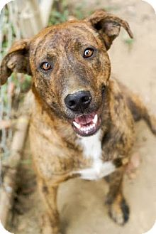 Mountain Cur Mix Dog for adoption in Columbia, Tennessee - Jessie