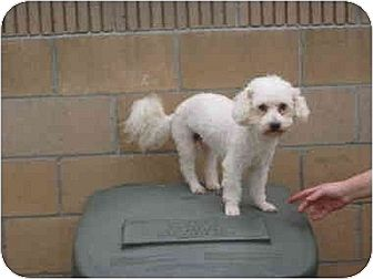 Bichon Frise/Poodle (Miniature) Mix Dog for adoption in Downey, California - Casey