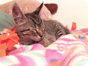 Domestic Shorthair Kitten for adoption in Elgin, Illinois - Farkle