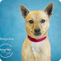 Adopt A Pet :: Chiquita - Phoenix, AZ