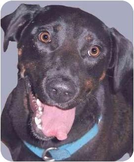 Labrador Retriever/Catahoula Leopard Dog Mix Dog for adoption in Grass Valley, California - Breeze