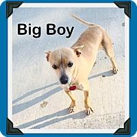 Adopt A Pet :: Big Boy Chi - Shawnee Mission, KS