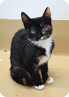 Domestic Shorthair Kitten for adoption in Dublin, California - Dory