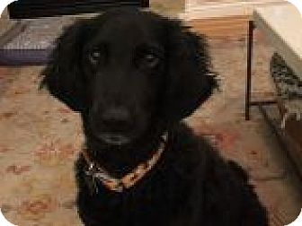 Retriever (Unknown Type)/Poodle (Standard) Mix Dog for adoption in Denver, Colorado - Chloe
