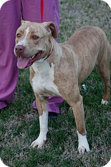 Pit Bull Terrier Mix Dog for adoption in Columbia, Tennessee - Callie