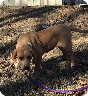 Labrador Retriever Mix Puppy for adoption in Spring Valley, New York - Cher