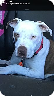 American Staffordshire Terrier/Terrier (Unknown Type, Medium) Mix Dog for adoption in San Juan Capistrano, California - Tyson