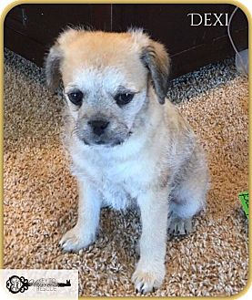 Terrier (Unknown Type, Small) Mix Puppy for adoption in DeForest, Wisconsin - Dexi