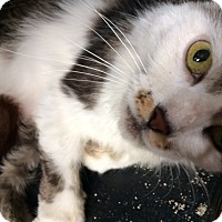 Adopt A Pet :: Sheba - Cocoa, FL