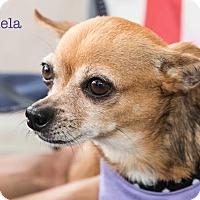 Adopt A Pet :: Canela - San Juan Capistrano, CA