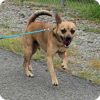 Chihuahua Mix Dog for adoption in Beebe, Arkansas - Colby