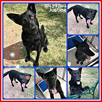 German Shepherd Dog Dog for adoption in SAN ANTONIO, Texas - JUSTINE