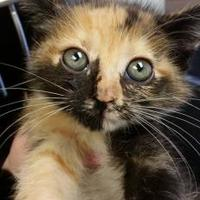 Domestic Shorthair/Domestic Shorthair Mix Kitten for adoption in Cleveland, Mississippi - PETAL