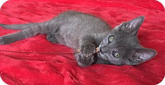 Domestic Shorthair Kitten for adoption in Scottsdale, Arizona - Jamie