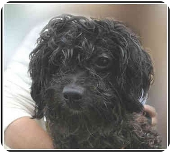 Poodle (Miniature) Dog for adoption in San Clemente, California - JEREMY = Housetrained