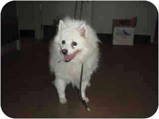 Eskimo Dog/Pomeranian Mix Dog for adoption in Encino, California - Alaska