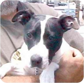 Jack Russell Terrier/American Pit Bull Terrier Mix Puppy for adoption in Berkeley, California - Pickles