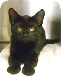 Domestic Shorthair Kitten for adoption in North Kingstown, Rhode Island - Maid Marion