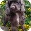 Photo 1 - Cocker Spaniel Mix Dog for adoption in Sugarland, Texas - Clutch