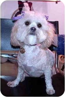 Lhasa Apso/Poodle (Miniature) Mix Dog for adoption in Los Angeles, California - PUCCINI