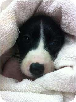 Border Collie/Shepherd (Unknown Type) Mix Puppy for adoption in Nanuet, New York - JOY