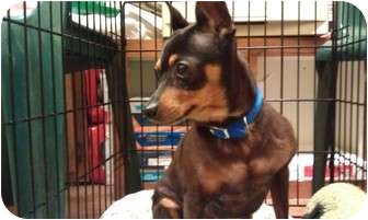 Miniature Pinscher Mix Dog for adoption in Youngwood, Pennsylvania - Bubba