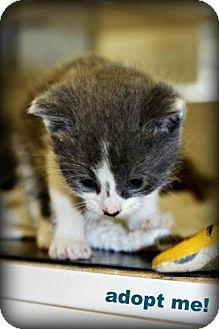 Domestic Shorthair Kitten for adoption in mishawaka, Indiana - Violet