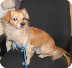 Chihuahua Mix Dog for adoption in Yuba City, California - 10/8 Unnamed