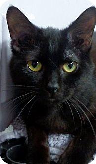 Domestic Shorthair Cat for adoption in Charles City, Iowa - Janie