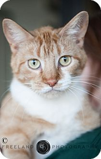 Domestic Shorthair Cat for adoption in Jackson, Michigan - Joan