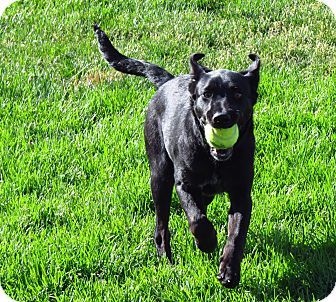 Labrador Retriever Mix Puppy for adoption in Meridian, Idaho - Misty