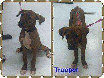 Boxer Mix Dog for adoption in Corpus Christi, Texas - Trooper