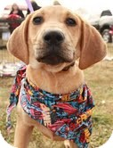 Golden Retriever/Hound (Unknown Type) Mix Dog for adoption in Staunton, Virginia - Lucille Ball (you cant resist