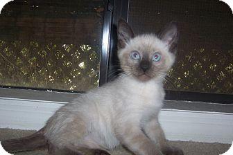 Siamese Kitten for adoption in Pueblo West, Colorado - Tommy Tubs