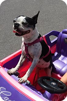Boston Terrier Dog for adoption in Various Locations, Florida - Libby Jean NC-PIN