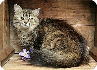 Domestic Longhair Cat for adoption in Germantown, Maryland - Juno - At Petco