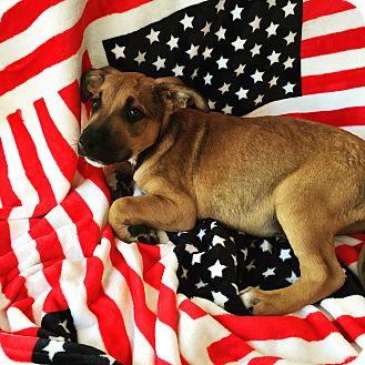 German Shepherd Dog Mix Puppy for adoption in El Segundo, California - Buck