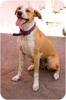 Boxer/Pointer Mix Puppy for adoption in Portland, Oregon - Girly