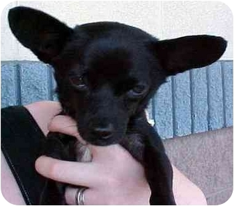Chihuahua Dog for adoption in Spring Valley, California - PACO
